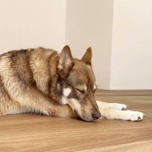Rigid Plank Coastal Blackbutt with dog sleeping